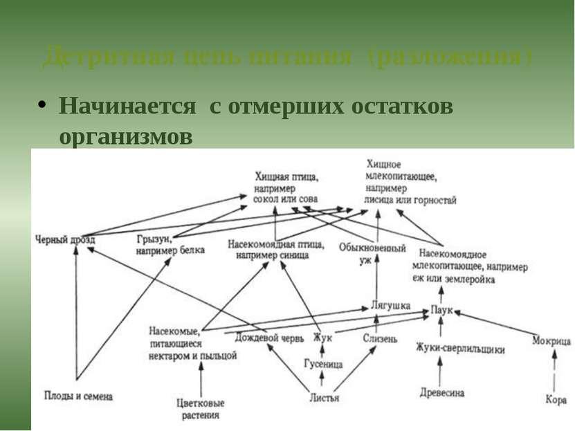 Детритная цепь питания (разложения) Начинается с отмерших остатков организмов