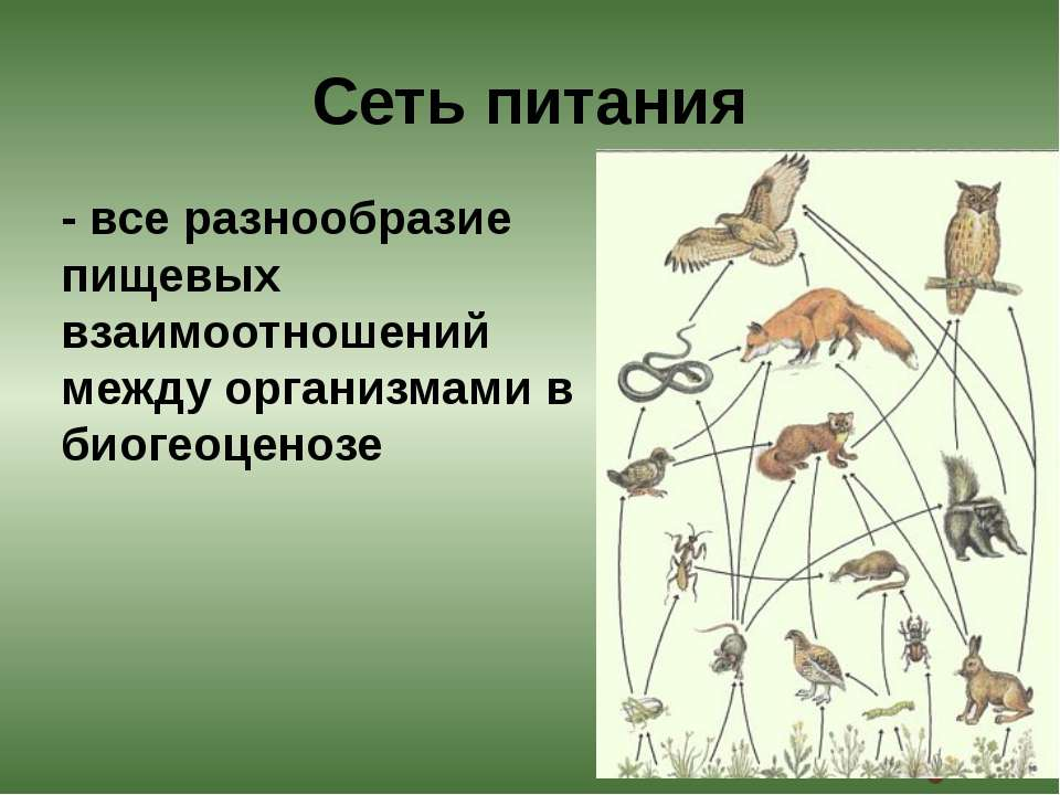 - все разнообразие пищевых взаимоотношений между организмами в биогеоценозе С...