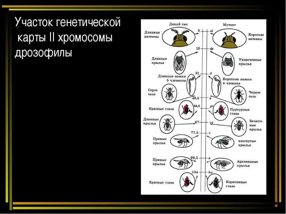 Участок генетической карты II хромосомы дрозофилы