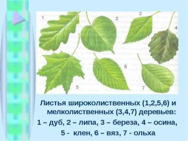 Листья широколиственных (1,2,5,6) и мелколиственных (3,4,7) деревьев: 1 – дуб...
