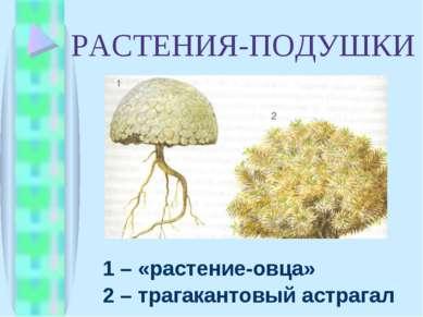 РАСТЕНИЯ-ПОДУШКИ 1 – «растение-овца» 2 – трагакантовый астрагал