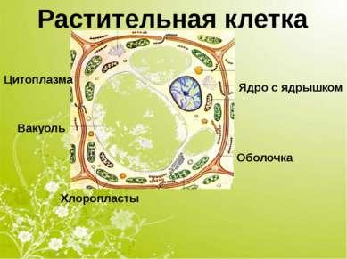 Оболочка Цитоплазма Вакуоль Ядро с ядрышком Хлоропласты Растительная клетка