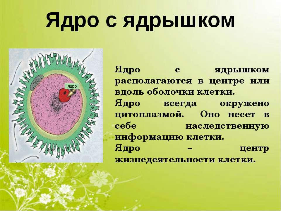 Ядро с ядрышком Ядро с ядрышком располагаются в центре или вдоль оболочки кле...