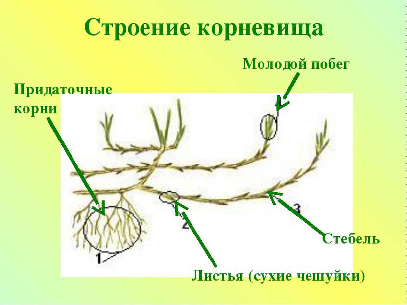 Строение корневища Молодой побег Придаточные корни Листья (сухие чешуйки) Сте...