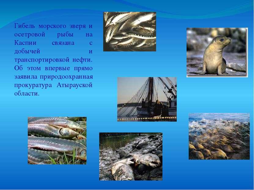 Гибель морского зверя и осетровой рыбы на Каспии связана с добычей и транспор...