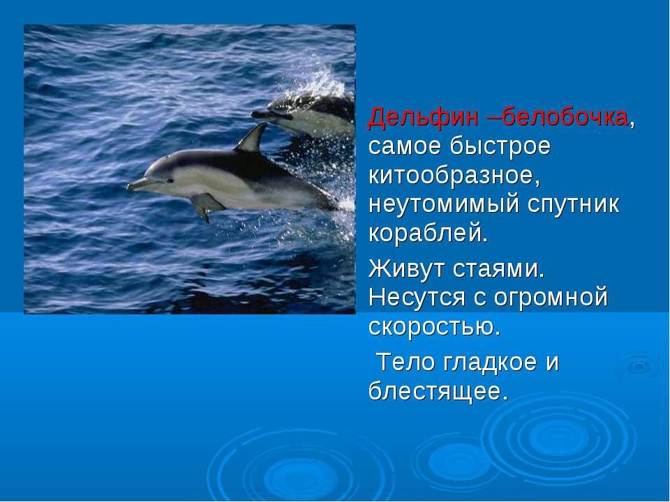 Дельфин –белобочка, самое быстрое китообразное, неутомимый спутник кораблей. ...