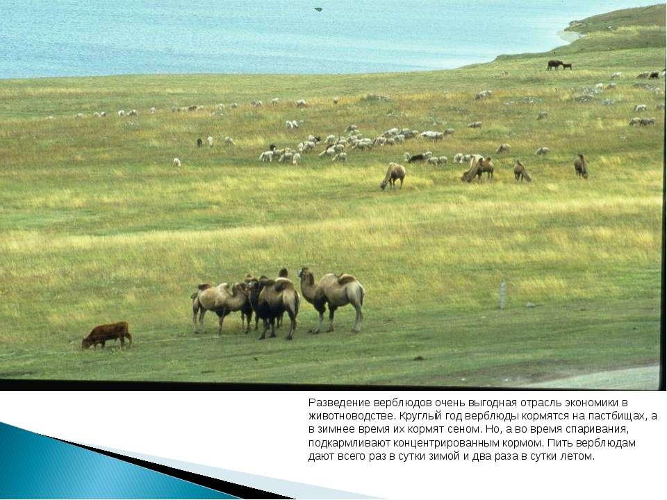 Разведение верблюдов очень выгодная отрасль экономики в животноводстве. Кругл...