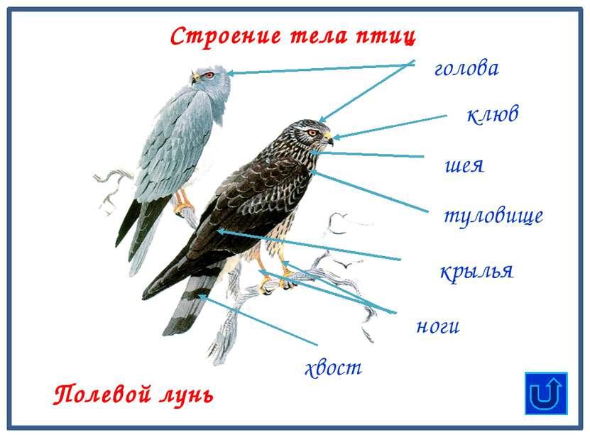 туловище клюв шея голова хвост Строение тела птиц Полевой лунь крылья ноги