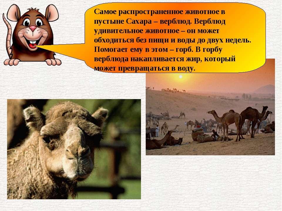 Самое распространенное животное в пустыне Сахара – верблюд. Верблюд удивитель...