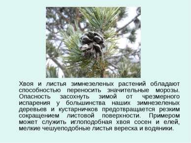 Хвоя и листья зимнезеленых растений обладают способностью переносить значител...