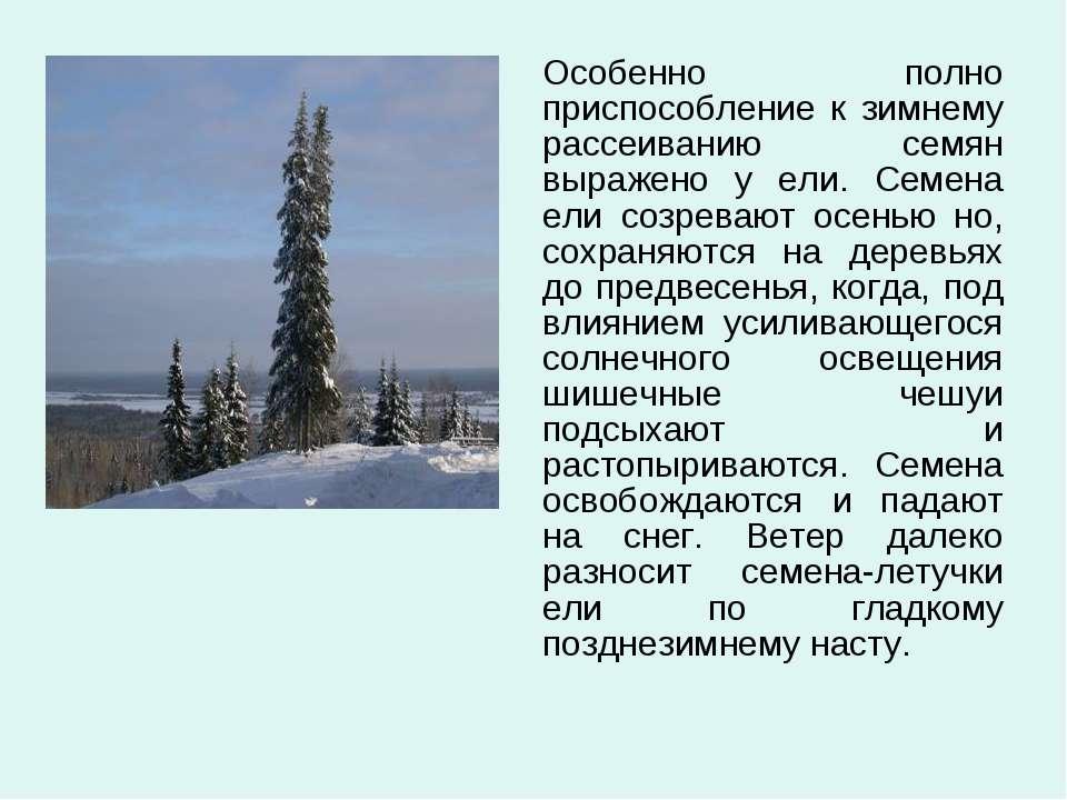Особенно полно приспособление к зимнему рассеиванию семян выражено у ели. Сем...