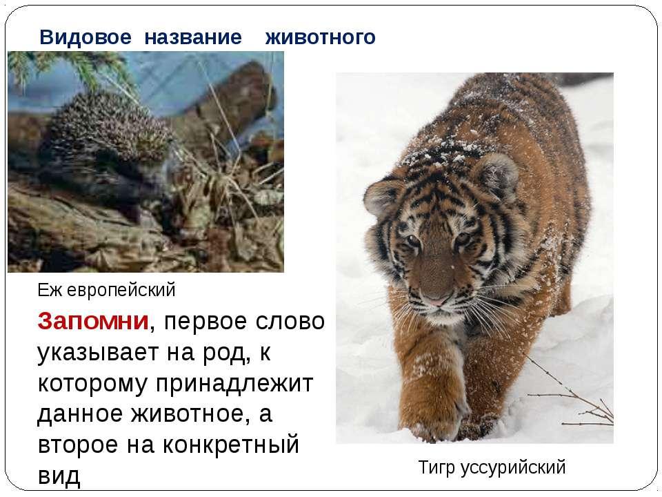 Видовое название животного Еж европейский Тигр уссурийский Запомни, первое сл...