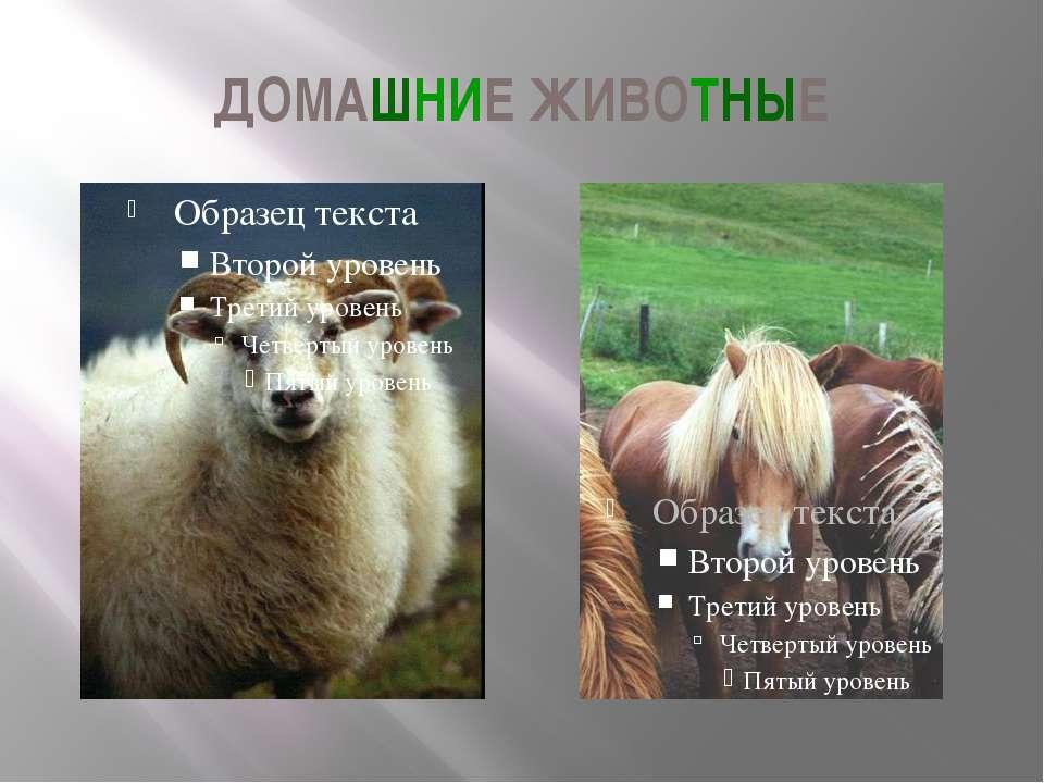 ДОМАШНИЕ ЖИВОТНЫЕ Это овца и карликовая исландская лошадь. В презентации «Люд...