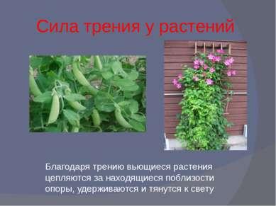 Сила трения у растений Благодаря трению вьющиеся растения цепляются за находя...