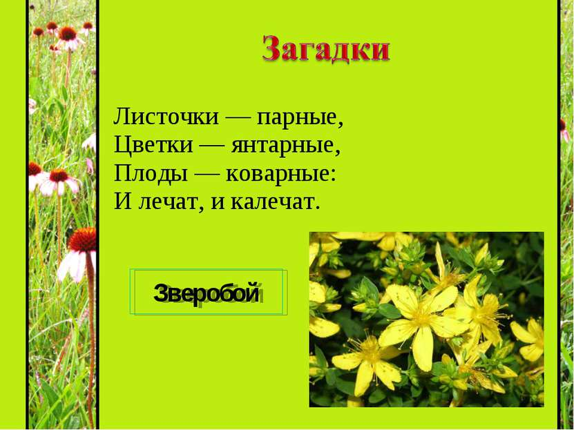 Листочки — парные, Цветки — янтарные, Плоды — коварные: И лечат, и калечат. З...