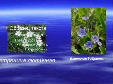 ветреница лютичная Вероникка дубравная