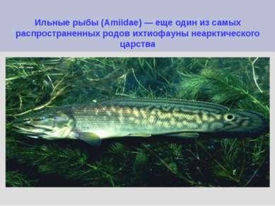 Ильные рыбы (Amiidae) — еще один из самых распространенных родов ихтиофауны н...