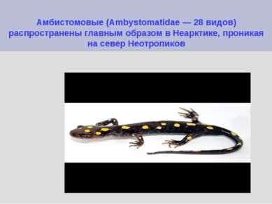 Амбистомовые (Ambystomatidae — 28 видов) распространены главным образом в Неа...
