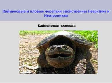 Каймановые и иловые черепахи свойственны Неарктике и Неотропикам Каймановая ч...