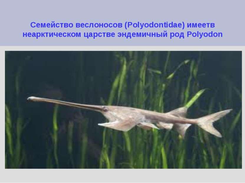 Семейство веслоносов (Polyodontidae) имеетв неарктическом царстве эндемичный ...