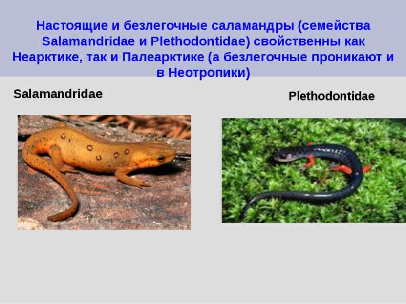 Настоящие и безлегочные саламандры (семейства Salamandridae и Plethodontidae)...