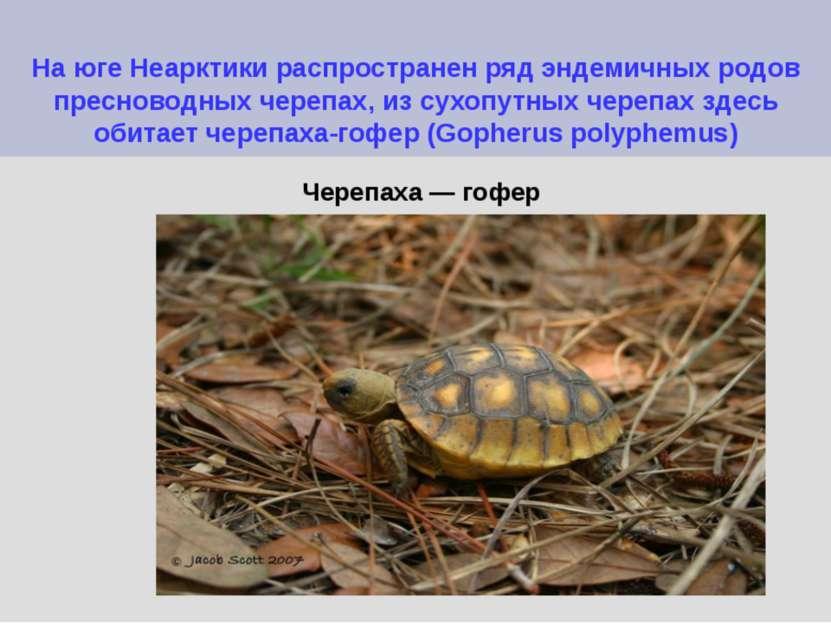 На юге Неарктики распространен ряд эндемичных родов пресноводных черепах, из ...
