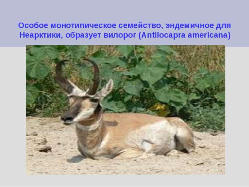 Особое монотипическое семейство, эндемичное для Неарктики, образует вилорог (...