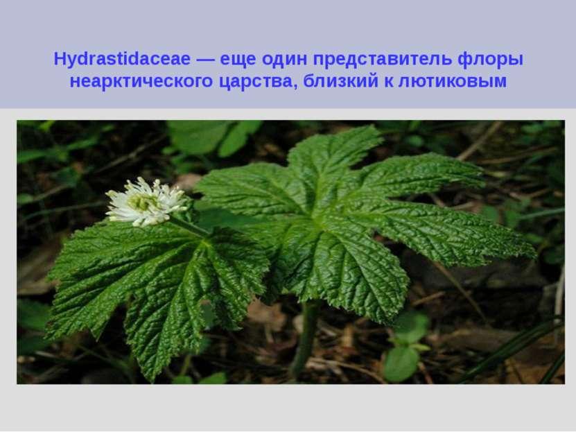 Hydrastidaceae — еще один представитель флоры неарктического царства, близкий...