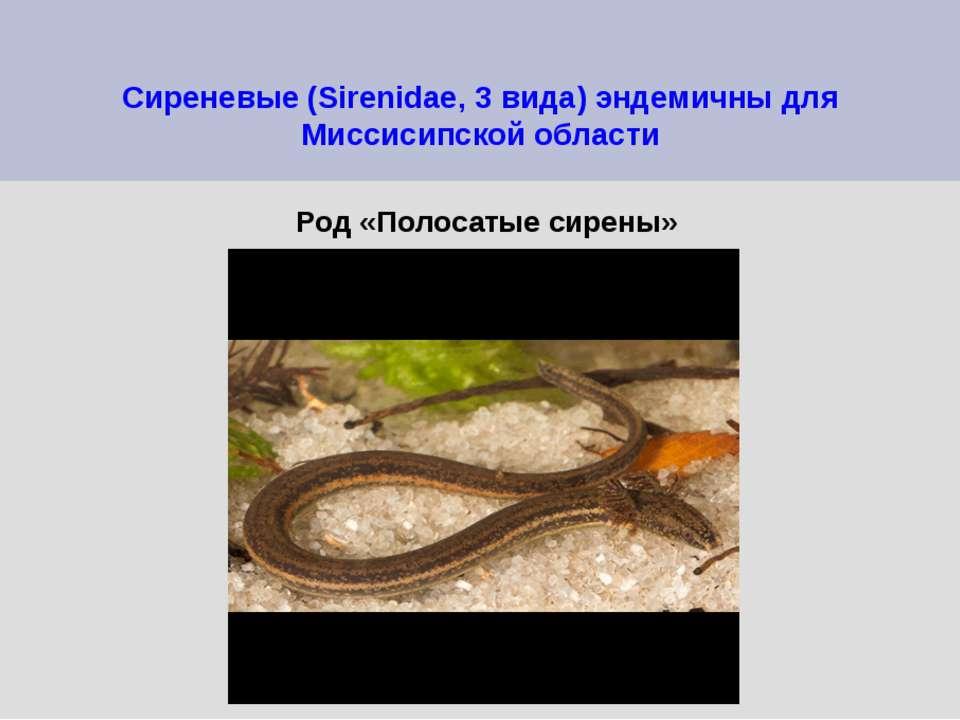 Сиреневые (Sirenidae, 3 вида) эндемичны для Миссисипской области Род «Полосат...