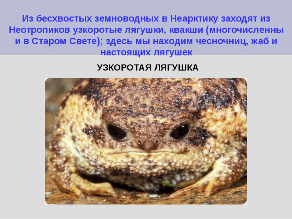 Из бесхвостых земноводных в Неарктику заходят из Неотропиков узкоротые лягушк...