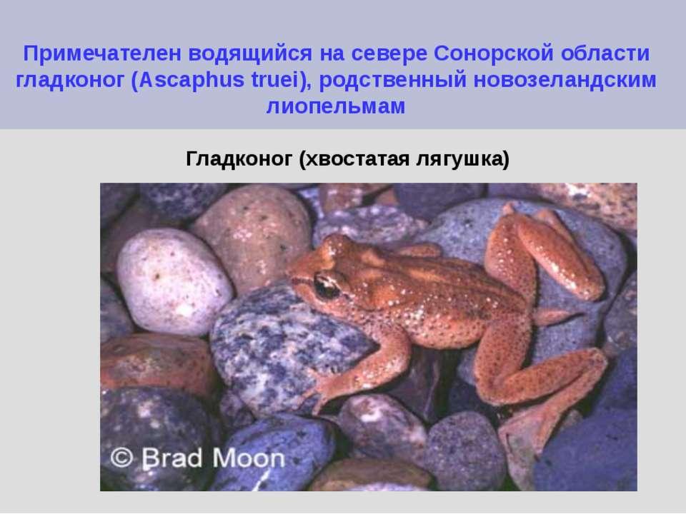 Примечателен водящийся на севере Сонорской области гладконог (Ascaphus truei)...