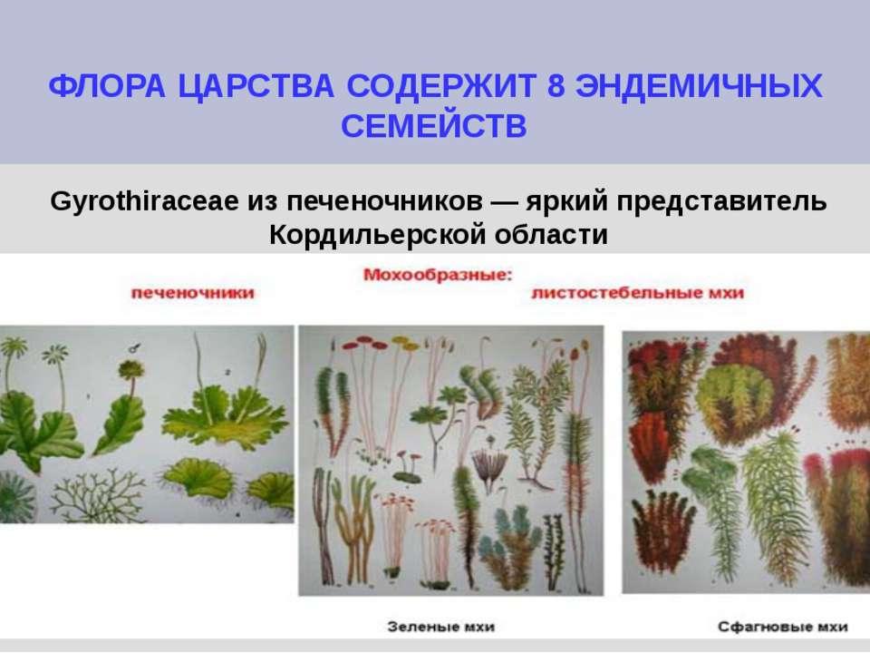 ФЛОРА ЦАРСТВА СОДЕРЖИТ 8 ЭНДЕМИЧНЫХ СЕМЕЙСТВ Gyrothiraceae из печеночников — ...