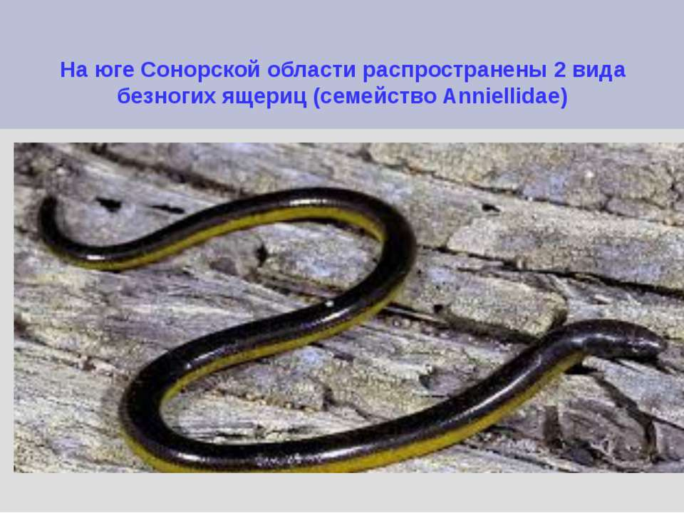 На юге Сонорской области распространены 2 вида безногих ящериц (семейство Ann...