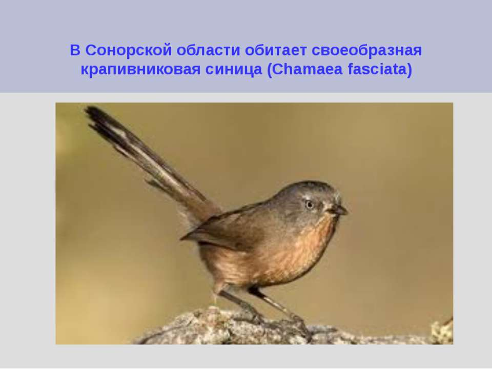 В Сонорской области обитает своеобразная крапивниковая синица (Chamaea fasciata)