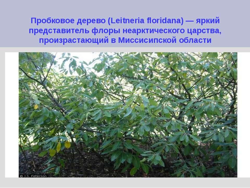 Пробковое дерево (Leitneria floridana) — яркий представитель флоры неарктичес...