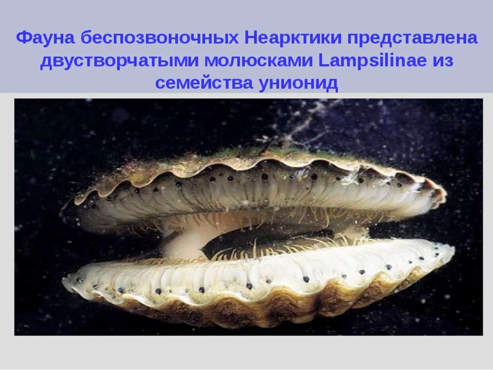 Фауна беспозвоночных Неарктики представлена двустворчатыми молюсками Lampsili...