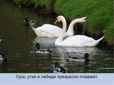 Гуси, утки и лебеди прекрасно плавают.