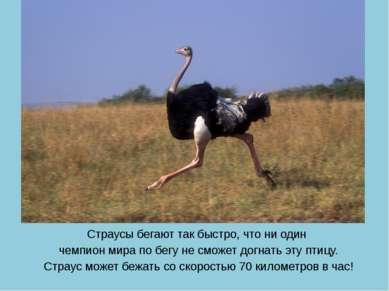 Страусы бегают так быстро, что ни один чемпион мира по бегу не сможет догнать...