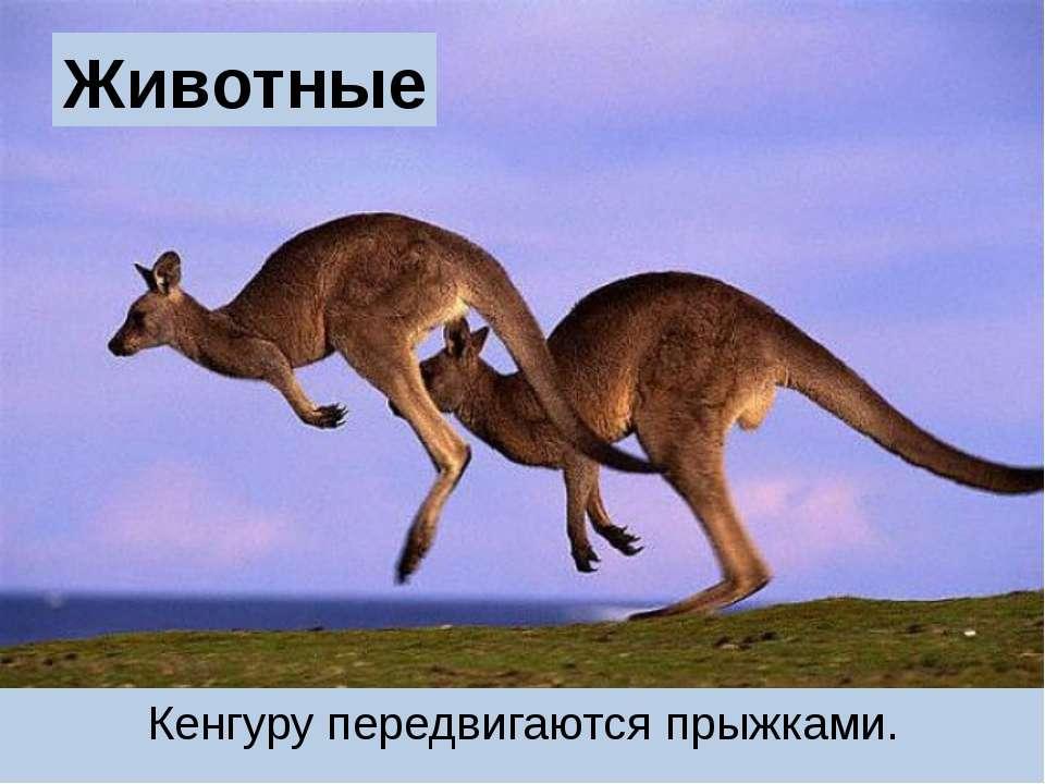 Животные Кенгуру передвигаются прыжками.