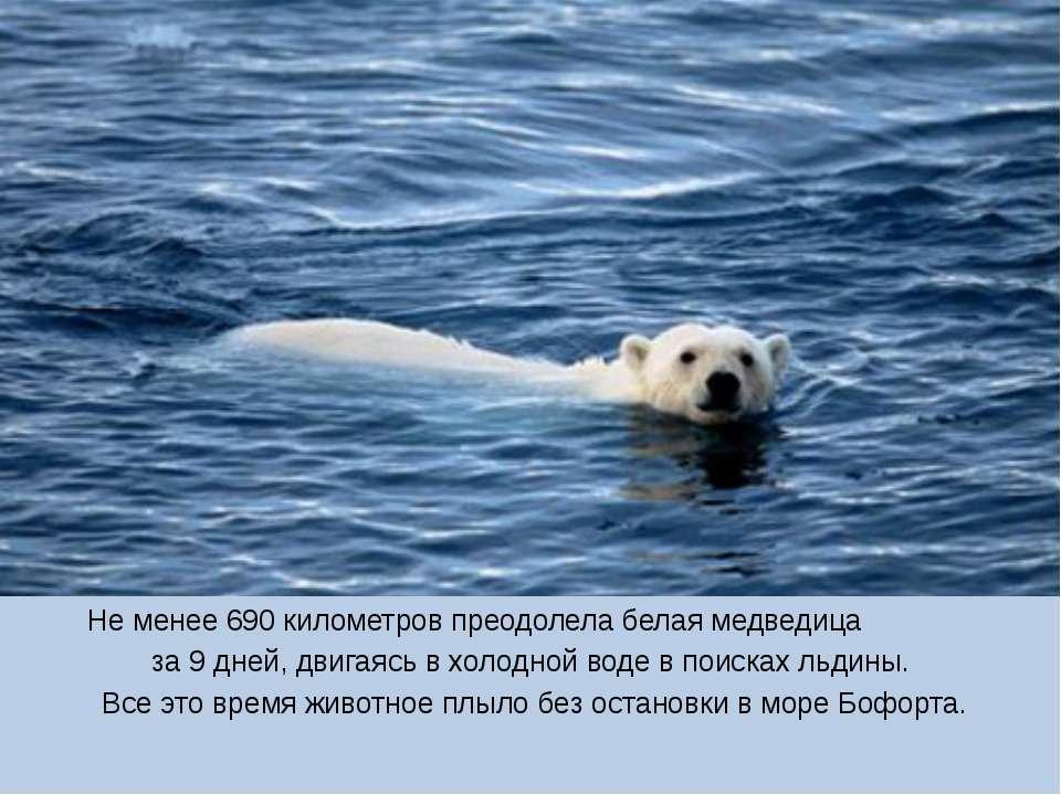Не менее 690 километров преодолела белая медведица за 9 дней, двигаясь в холо...
