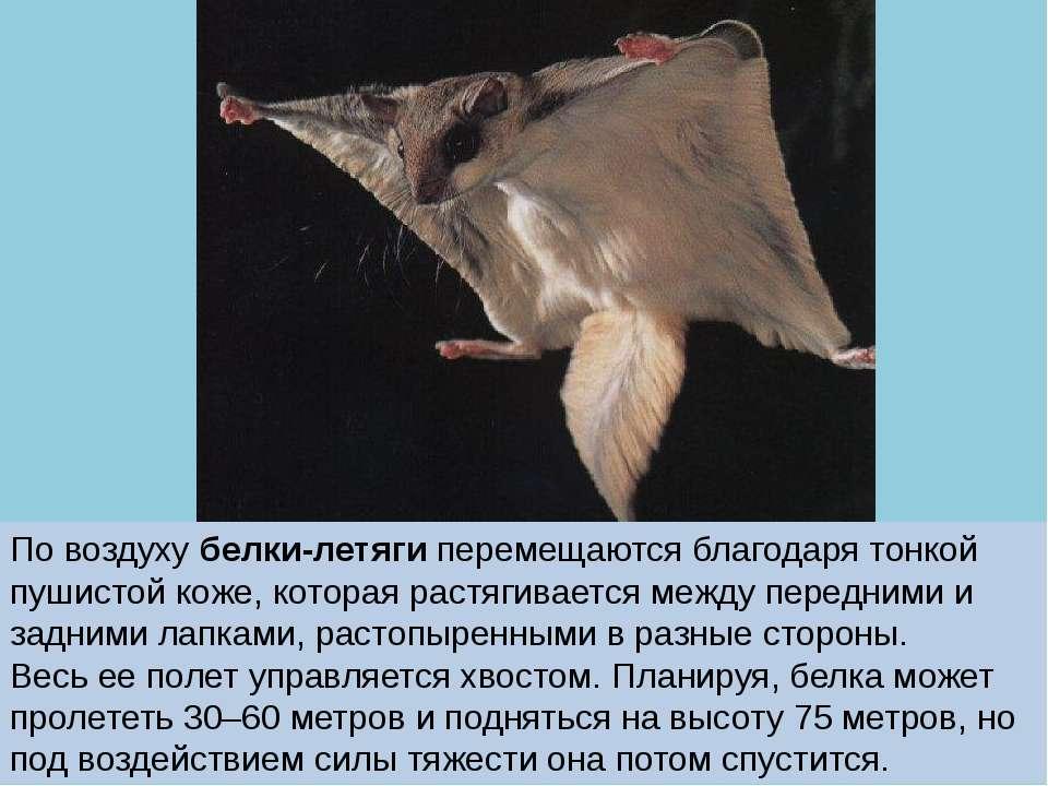 По воздуху белки-летяги перемещаются благодаря тонкой пушистой коже, которая ...