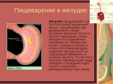 Пищеварение в желудке: Желудок представляет собой толстостенный мышечный мешо...