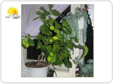 Была зима за окнами, На улице мороз, У нас на подоконнике Лимон зелёный рос. ...