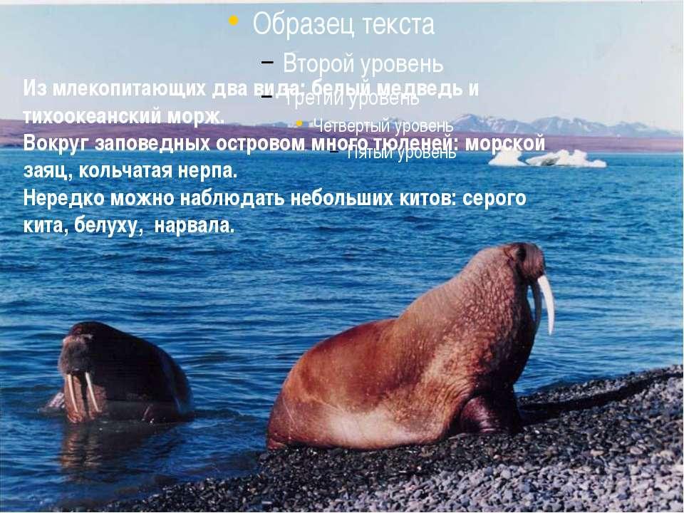 Из млекопитающих два вида: белый медведь и тихоокеанский морж. Вокруг заповед...