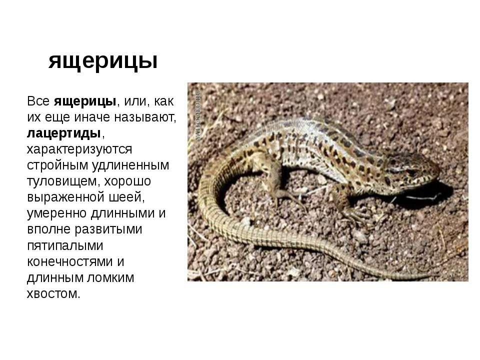 ящерицы Все ящерицы, или, как их еще иначе называют, лацертиды, характеризуют...