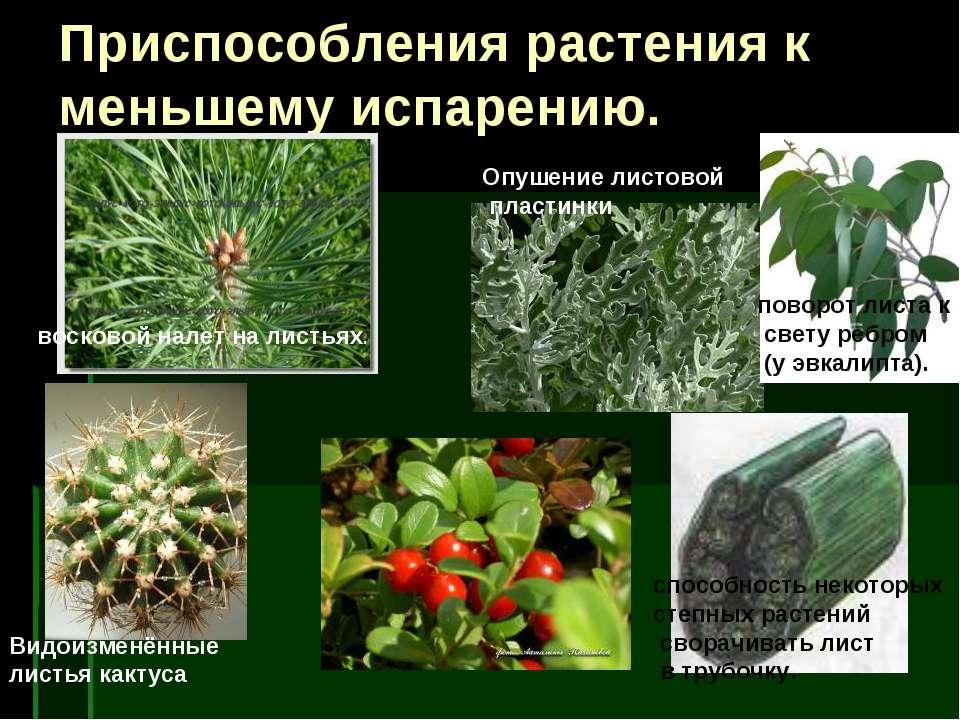 Приспособления растения к меньшему испарению. Видоизменённые листья кактуса п...