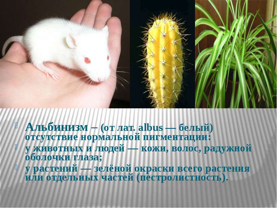 Альбинизм – (от лат. albus — белый) отсутствие нормальной пигментации: у живо...