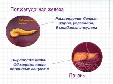 Поджелудочная железа Расщепление белков, жиров, углеводов. Выработка инсулина...