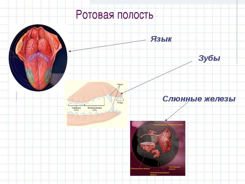 Ротовая полость Язык Зубы Слюнные железы