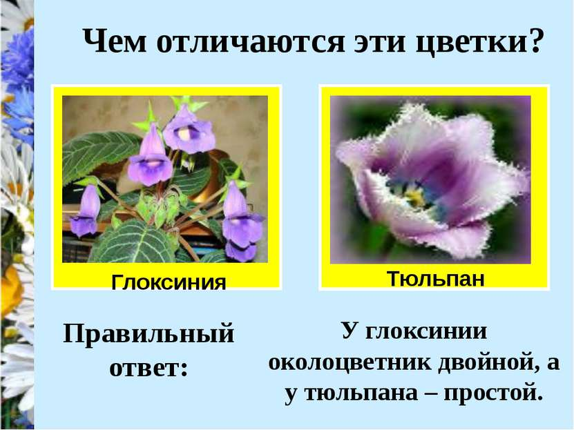 Чем отличаются эти цветки? Глоксиния Тюльпан Правильный ответ: У глоксинии ок...